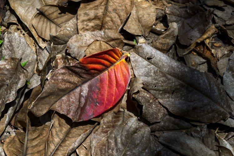 Опале листя, перегниваючи за зиму, стає частиною верхнього шару ґрунту і при цьому істотно покращує його структуру