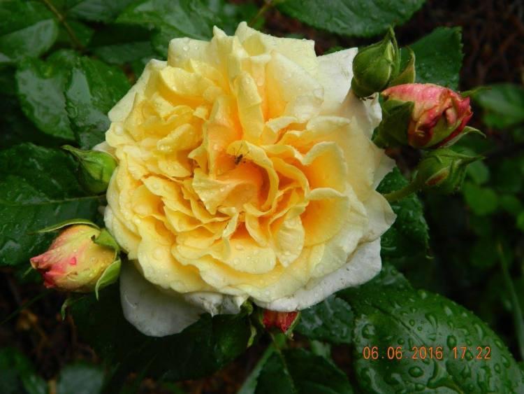 Троянда Caramella, Kordes, Німеччина, 2001