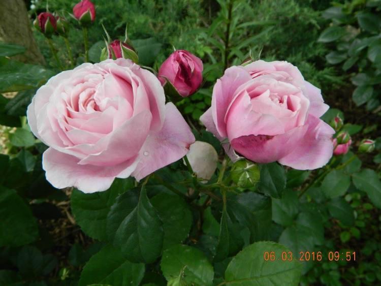 Троянда Dieter Muller, Delbard, Франція, 2004