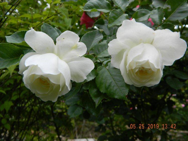 Троянда Tranquillity, 2012
