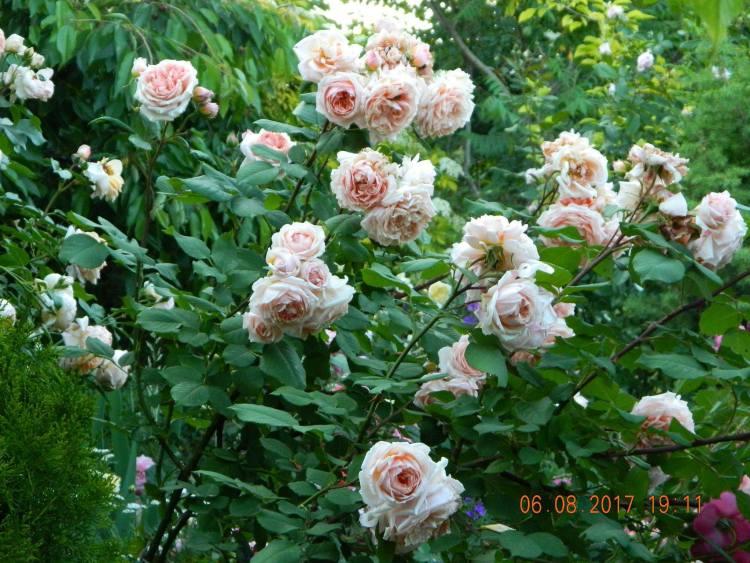 Троянда Paul Bocus, Массад, Франція, 1992