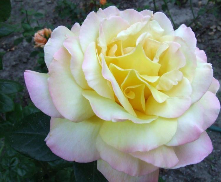 Троянда Peace, або Gloria Dei, Meilland, 1945 , одна з найвідоміших сортів у світі