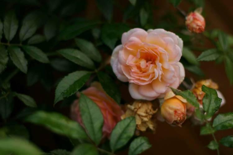 Троянда Ghislaine de Feligonde