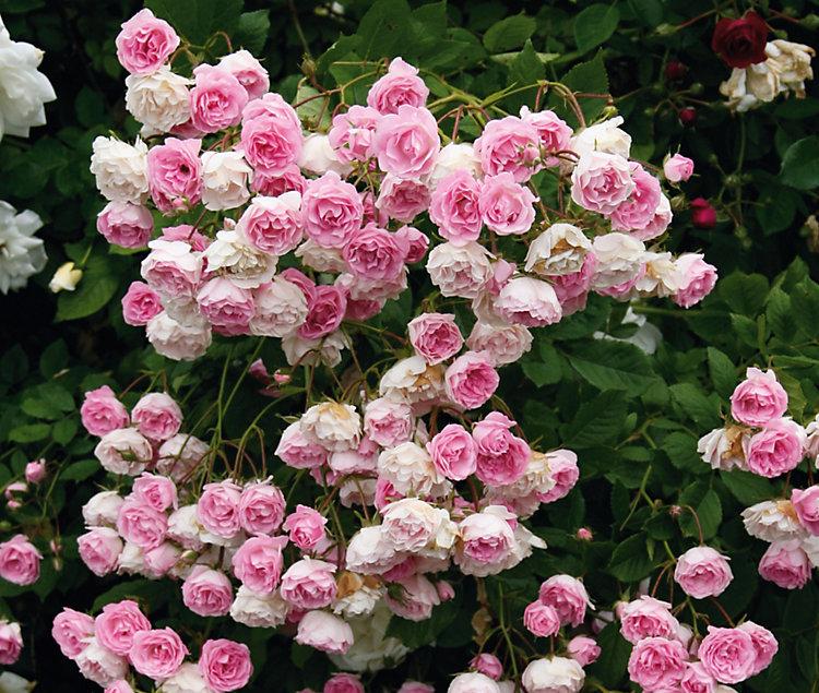Троянда Frau Eva Shubert