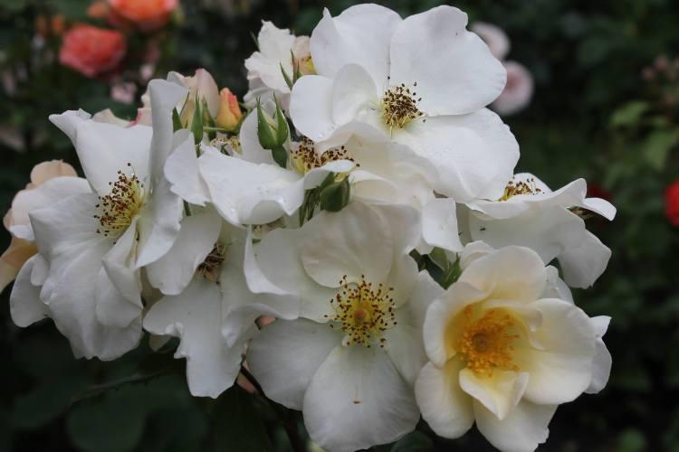 Троянда Sally Holmes