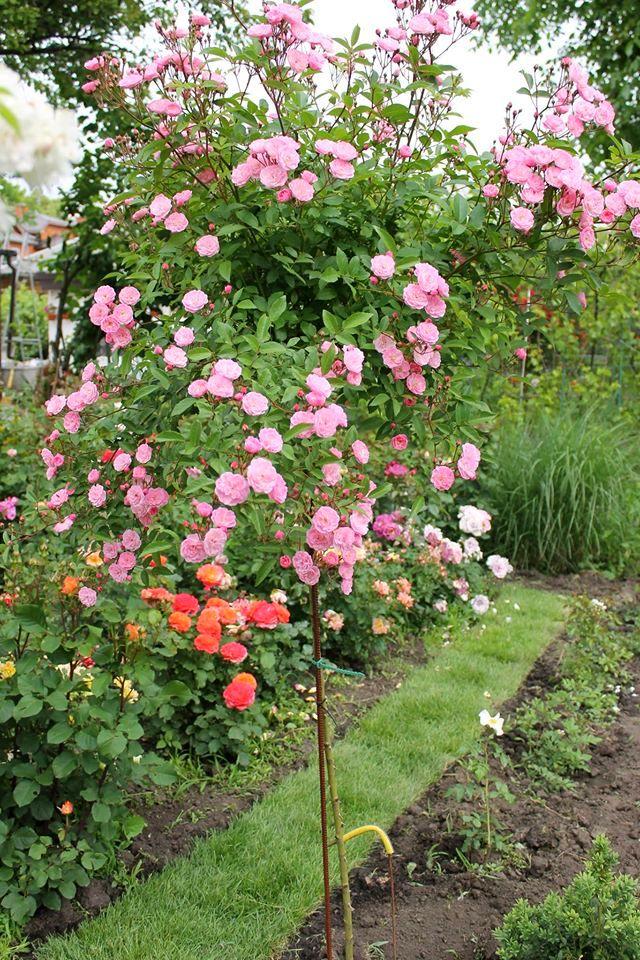 Троянда Heavenly Pink на штамбі.