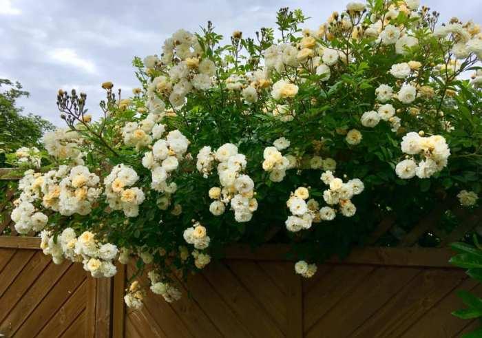 Троянда Ghislaine de Feligonde, Turbat, Франція, 1916 (гібрид Multiflora) зустрічає господарів і гостей на парадному паркані