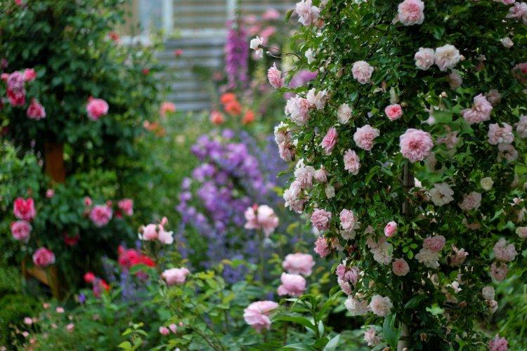 Виткі троянди — романтичні рамблери