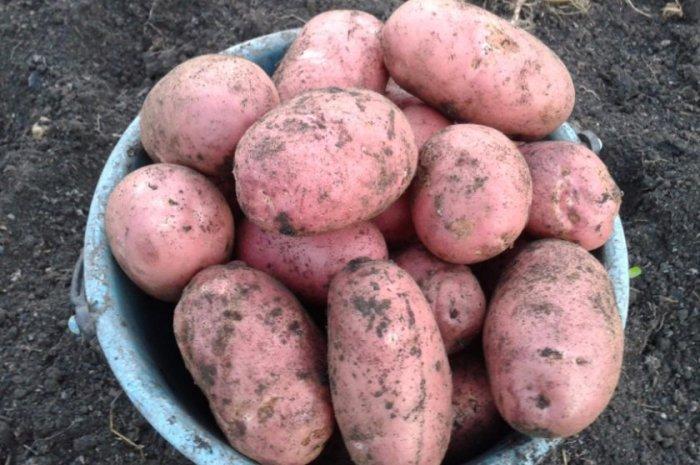 Картопля «Слов'янка»