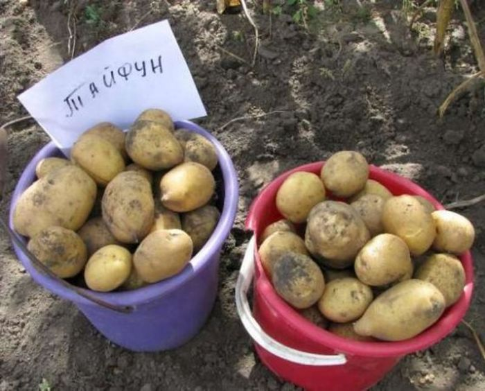 Картопля «Тайфун» (Tajfun)