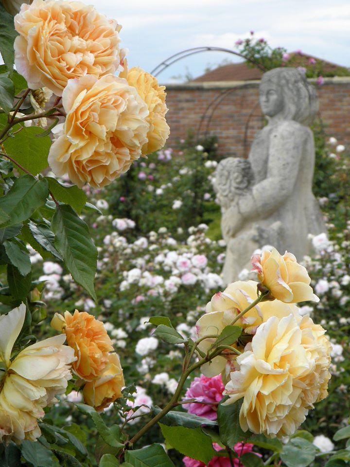 Вікторіанський сад (THE VICTORIAN WALLED GARDEN) демонстраційного саду Девіда Остіна