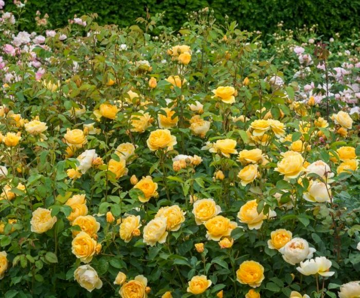 Міжнародне визнання приходить до Девіда Остіна в 1983 році після представлення світу троянди Graham Thomas