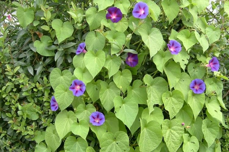 іпомея пурпурова (Ipomoea purpurea)