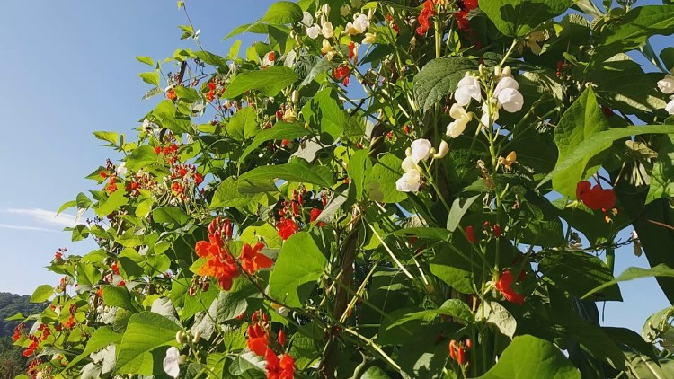 Квасоля вогняно-червона (Phaseolus coccineus)