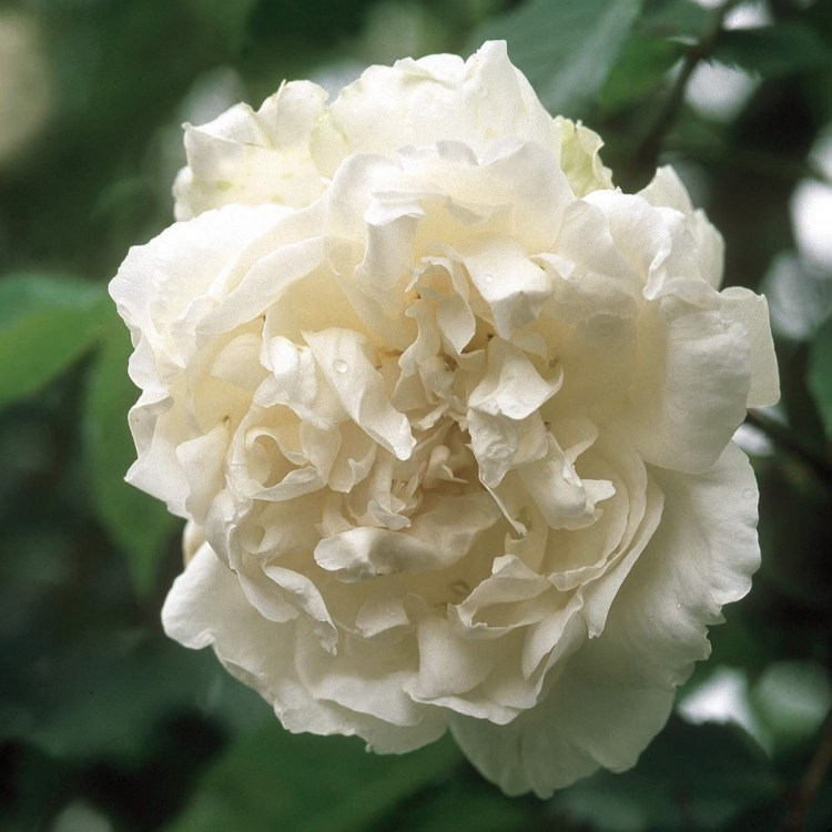 Троянда «Мадам Альфред Карье» (Madame Alfred Carrière), 1875