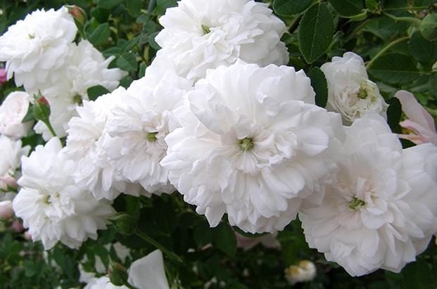 Троянда «Мадам Плонтье» (Madame Plantier), 1835