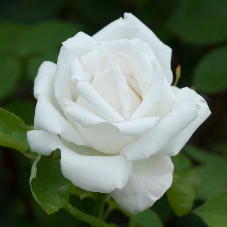 Троянда «Фрау Карл Друшкі»