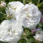 Білі сорти старовинних троянд, доступні в Україні