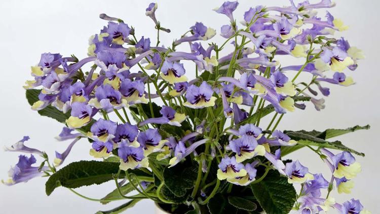 Streptocarpus'Harlequin Blue', вибір президента RHS