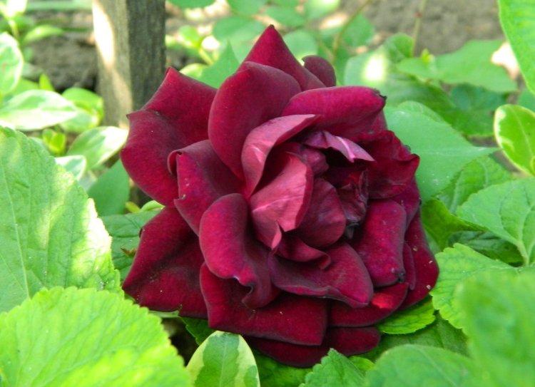 Китайська троянда Louis XIV, Guillot fils, Франція 1859