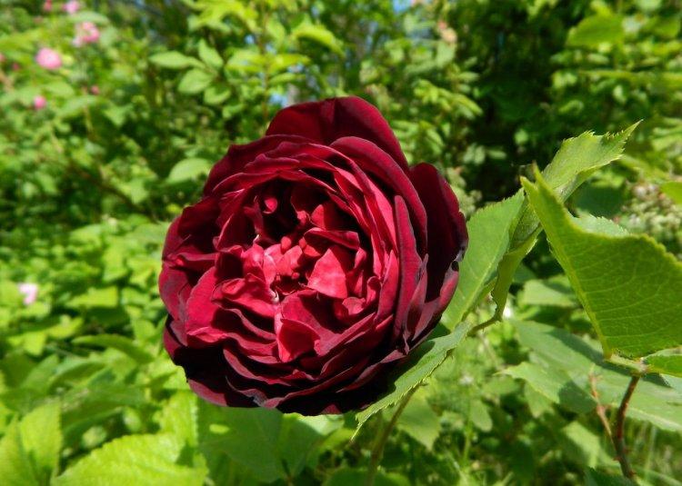 Стародавня чайна троянда Francis Dubreuil