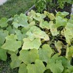 Чого жовтіє листя огірків? 7 проблем і їх рішення