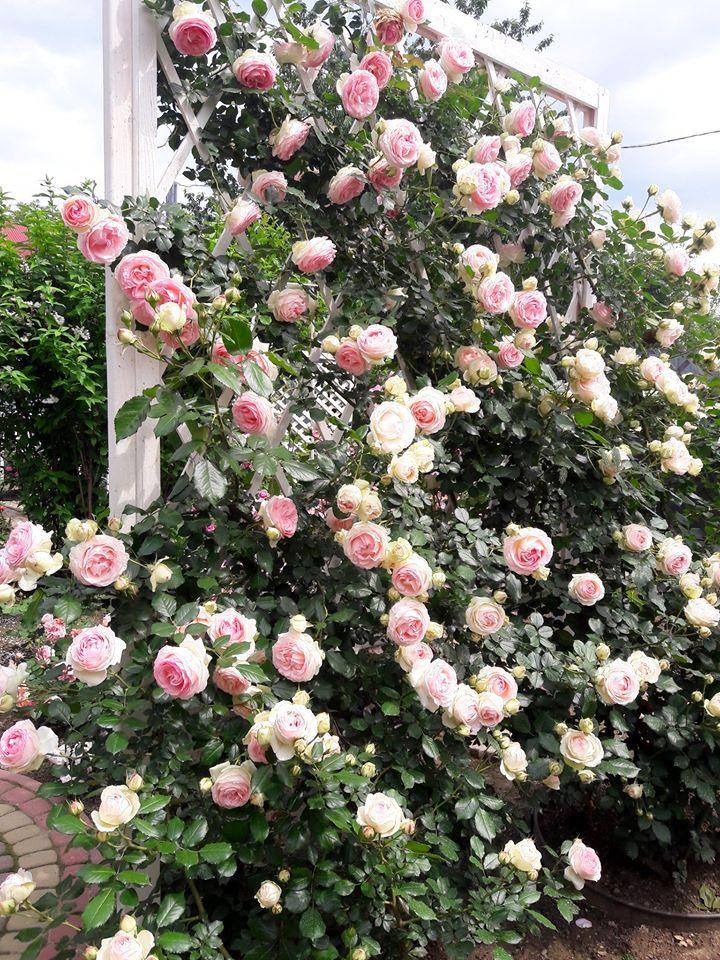 Кожна клумба переділена дерев'яними шпалерами, біля яких висаджені по два кущі троянд П'єр де Ронсар