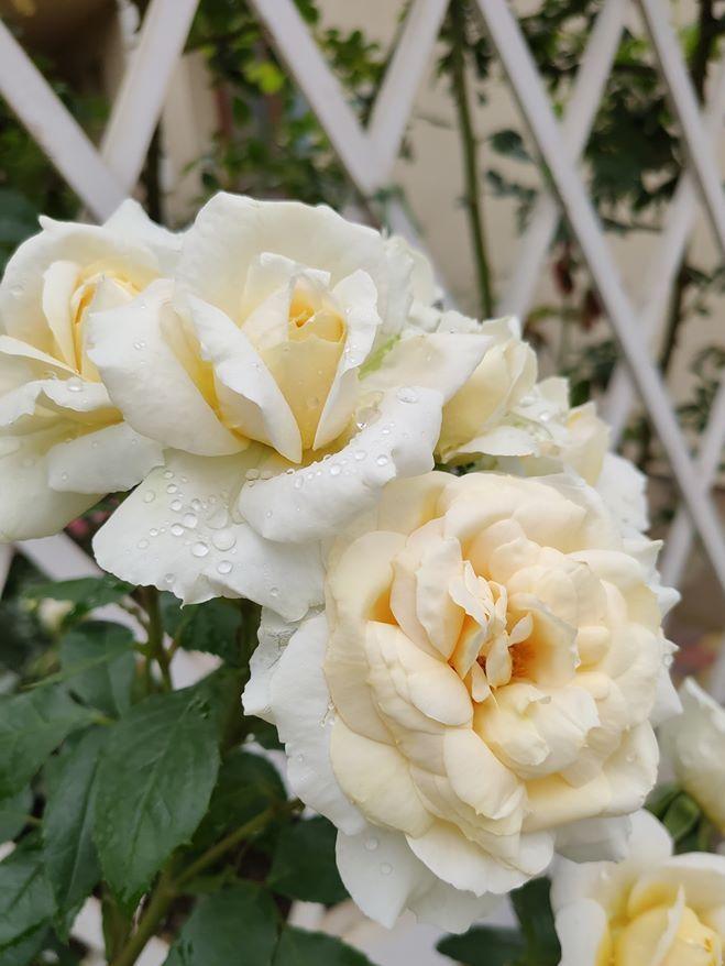 Троянда Lions Rose, Kordes, Німеччина, до 1999 – цікавинка з медовими тонами в розарію