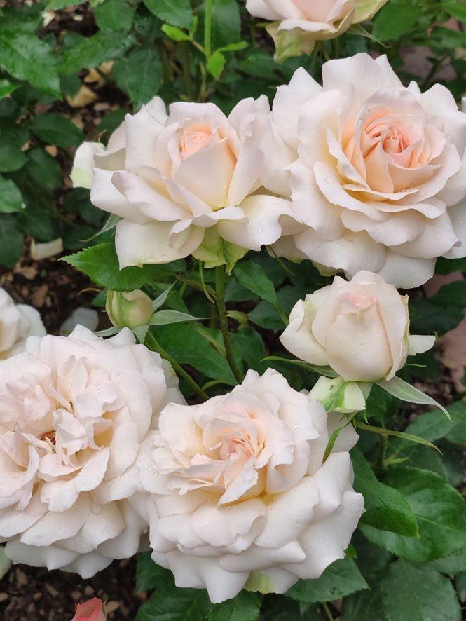 Троянда Chandos Beauty, Harkness, Великобританія, 2005. Одна з найароматніших у трояндовому світі ароматів