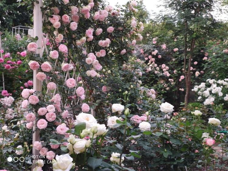 Біло-рожева палітра саду: П'єр на шпалері, П'єр на решітці на паркані, білий Боінг на передньому плані