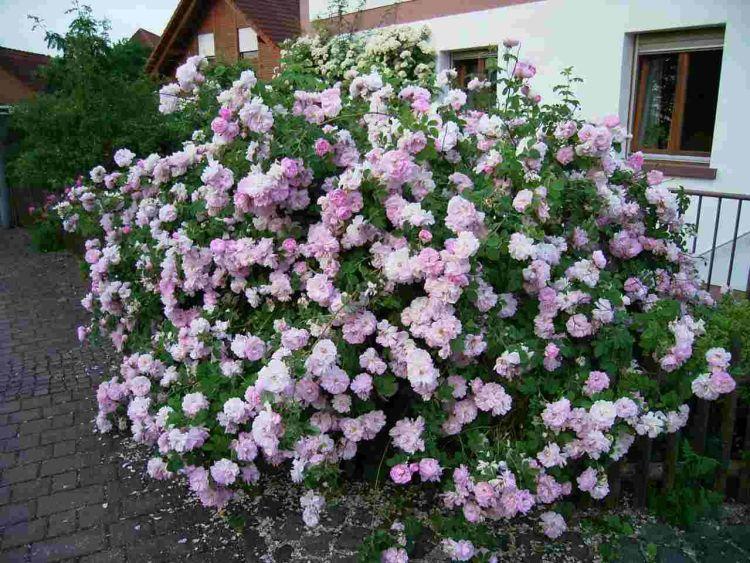 солодкий смак у троянди Jacques Cartier