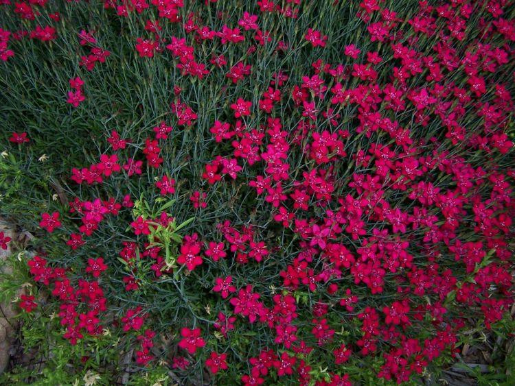 Гвоздика дельтовидна (Dianthus deltoides)