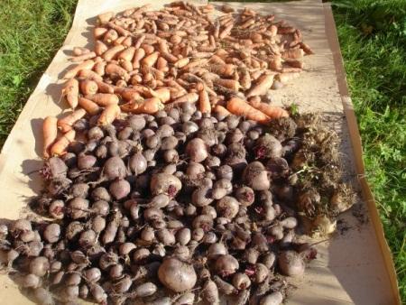 Как вырастить свеклу на своем огороде. Правильное выращивание свеклы в огороде на даче