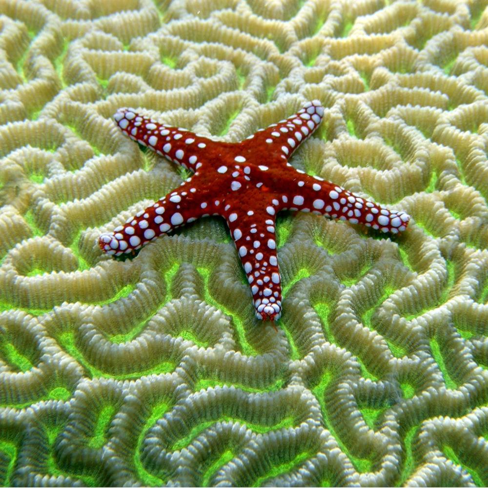 starfish on brain coral