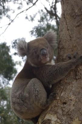 Volunteering Australia animals : Kangaroo Island koala