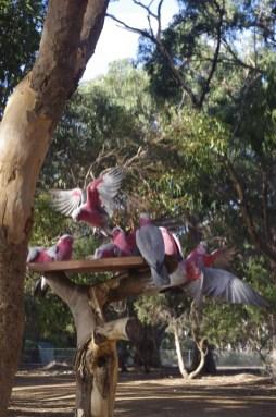 Volunteering Australia animals : Kangaroo Island galas and rosellas