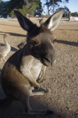Kangaroo Island wildlife sanctuary