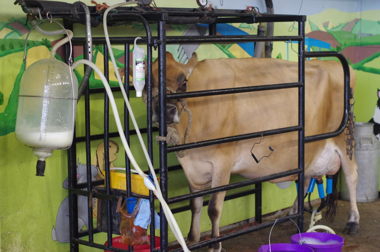 Odds farm dayout with kids: the milking