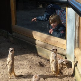 animal park near London - meerkats