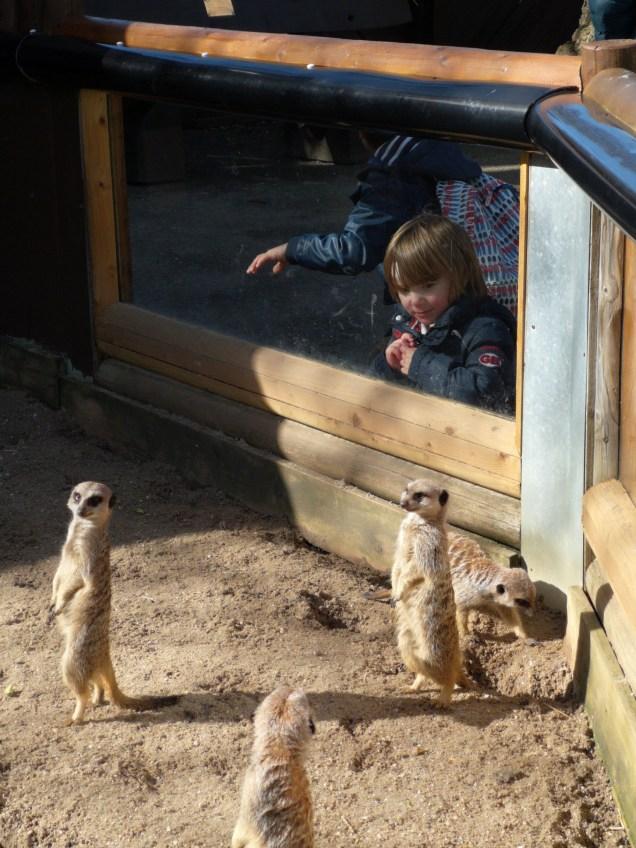 animal park near London - meerkats