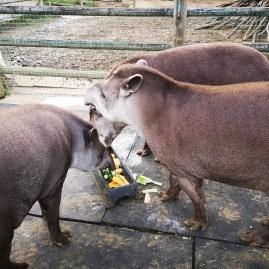 PWP Tapirs feeding