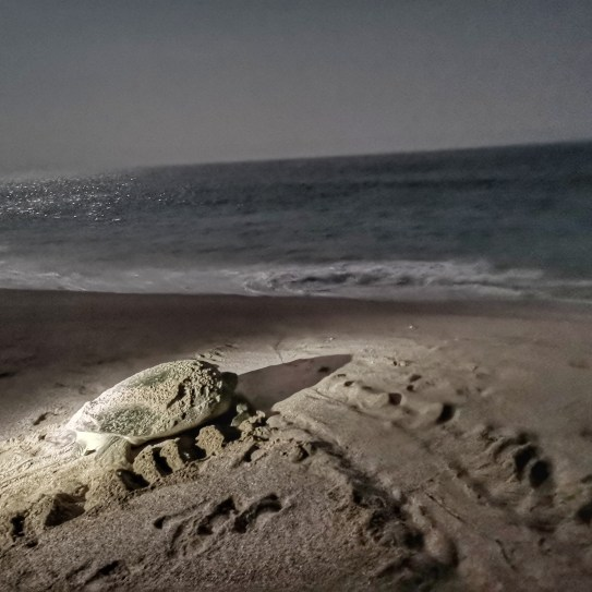 Turtle beach Oman