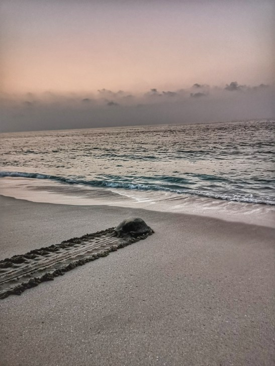 Ras al Jinz Oman, mother turtle