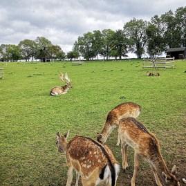 Bocketts Farm Park deers