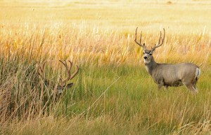 mule-deer-1