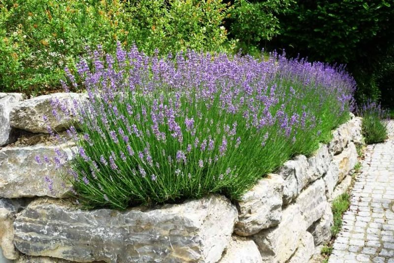 Pflanzen Fur Steingarten Schatten
