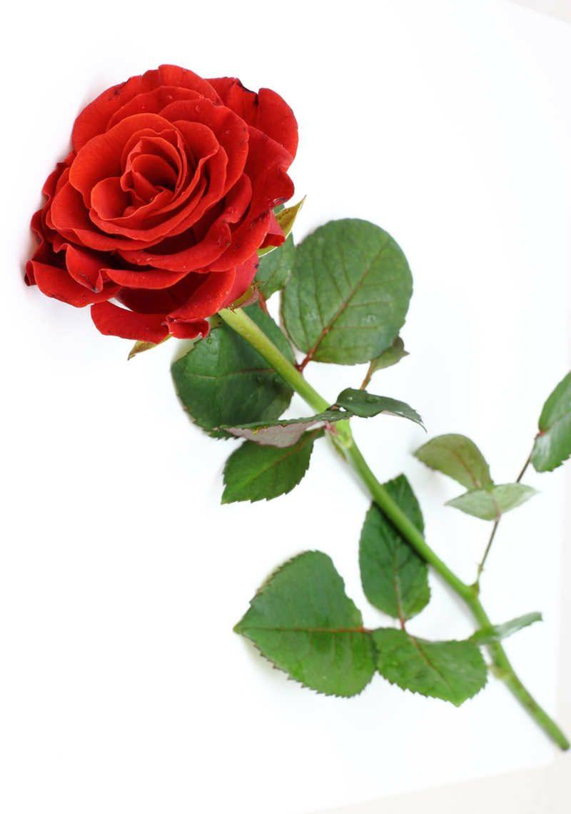Die rote Rose  ein Symbol der Liebe  Liebe  Familie Valentinstag  ZENIDEEN