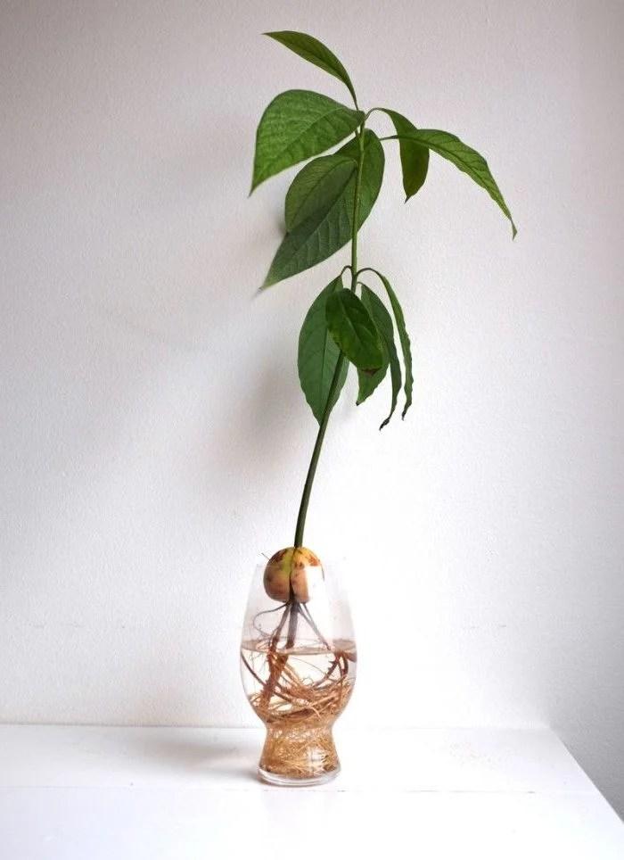 Avocado pflanzen SchrittfrSchritt Anleitung  von Kern