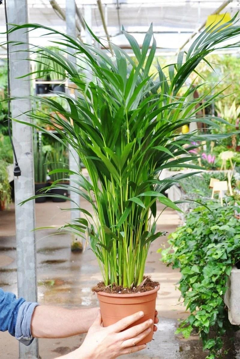 yucca schlafzimmer pflanzen im schlafzimmer vorteile nachteile und geeignete arten. Black Bedroom Furniture Sets. Home Design Ideas