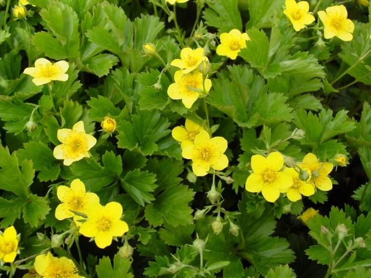 Bodendecker Schatten 8 pflegeleichte Pflanzenarten